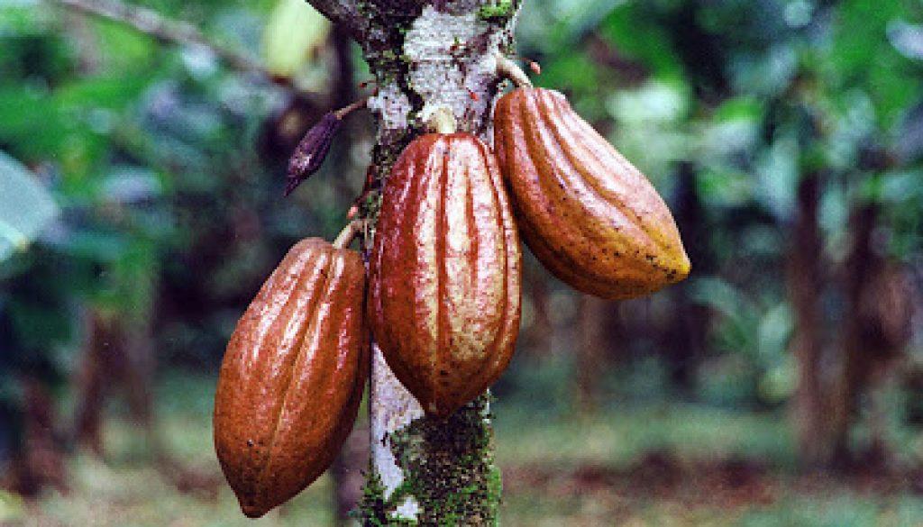 cocoa-bean-pods