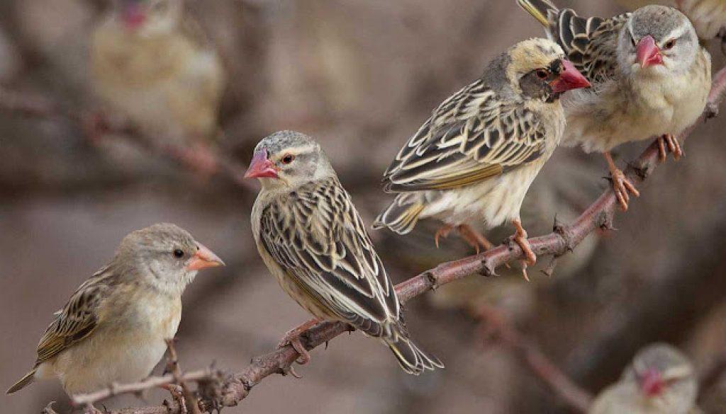 BIRD-queleas-1