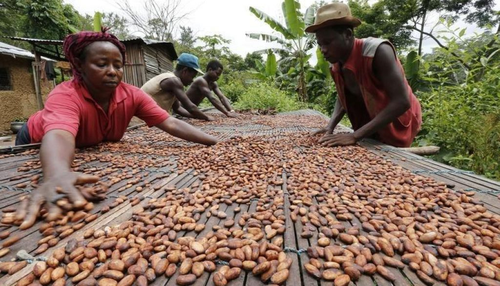People work with cocoa beans in Enchi