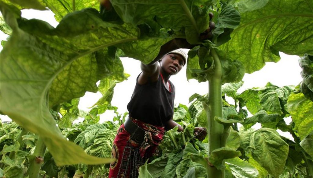 A farm worker reaps tobacco leaves on a farm on the outskirts of the capital Harare
