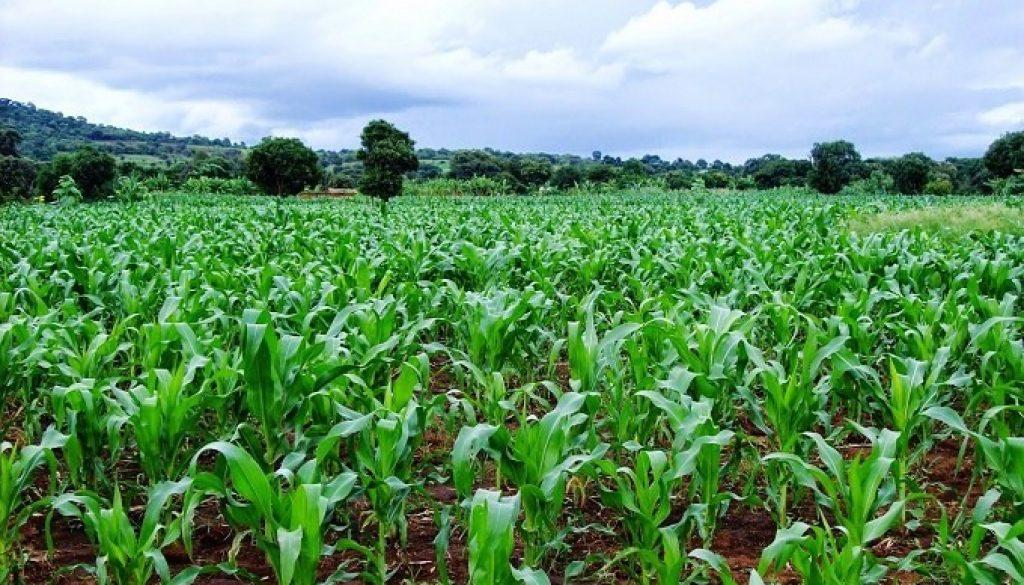 maize-plantation
