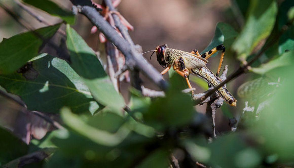 locusts-photo-UN