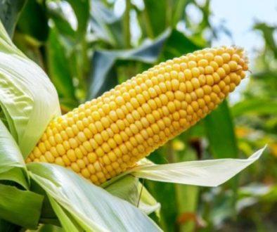 maize-prefered-696x392-1