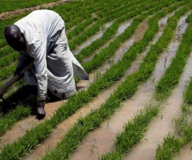 Poor-returns-force-farmers-to-abandon-food-crops-in-North-West